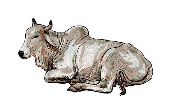 Resting White Cow American Brahman