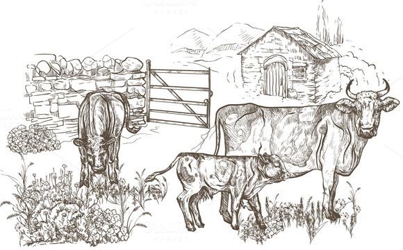 Cows With Calves On The Farm