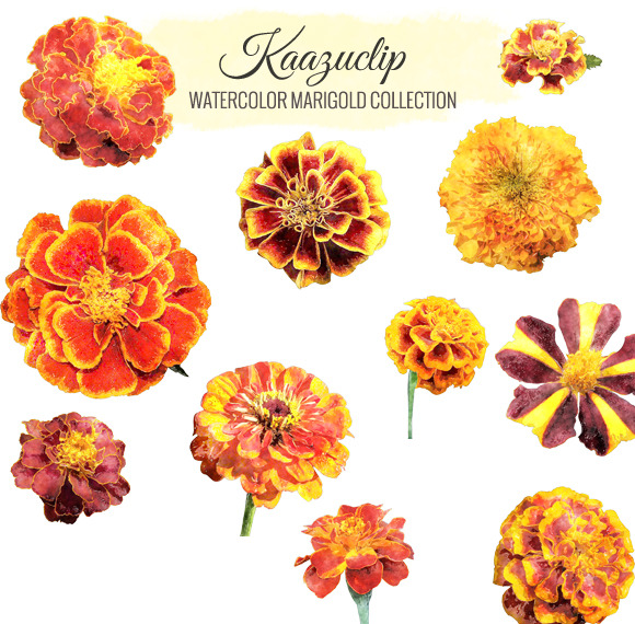Watercolor Marigold Collection