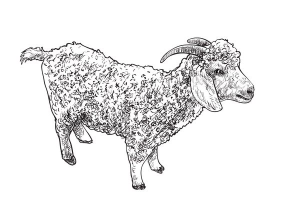 Angora Goat-vector