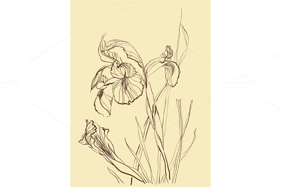 Iris Flower Drawing
