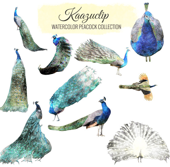 Watercolor Peacock Collection