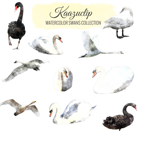 Watercolor Swan Collection