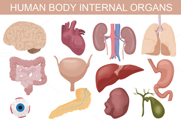 Human anatomy internal organs pictures