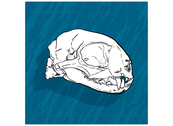 Animal Skull With Shadow On Blue Bac