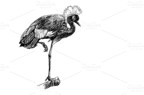 The African Crowned Crane Bird