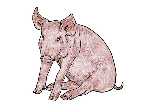 Drawing Of Pig