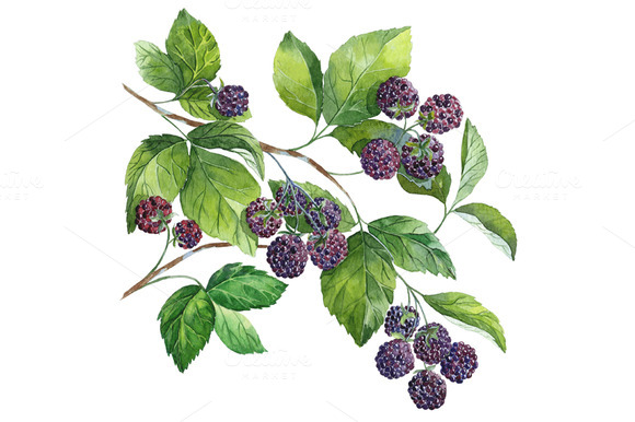 Watercolor Blackberry