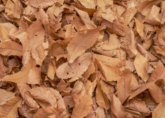 Chestnut Leaves On The Ground