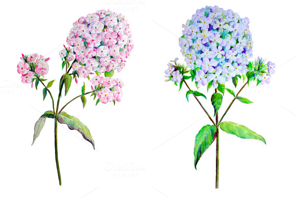 Watercolor Phlox Pink Blue Clipart