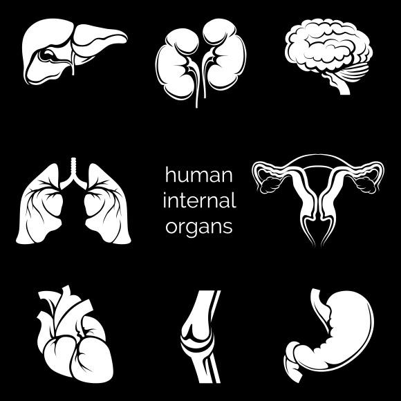 Internal Human Organs Silhouettes