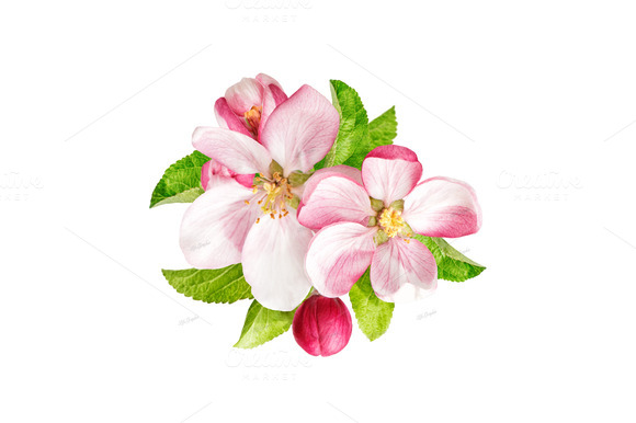 Apple Tree Blossoms With Green Leaf
