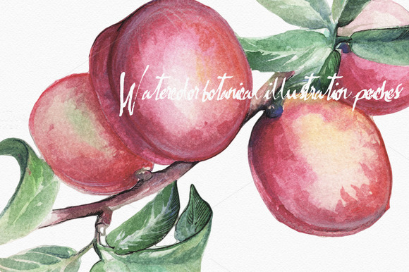Botanical Illustration Peaches
