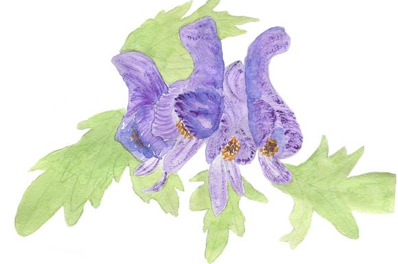 Aconitum Printable Artwork