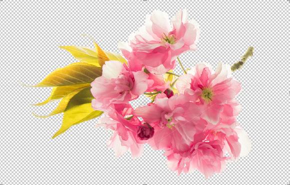 PNG Blossoms Of Sakura Cherry Tree