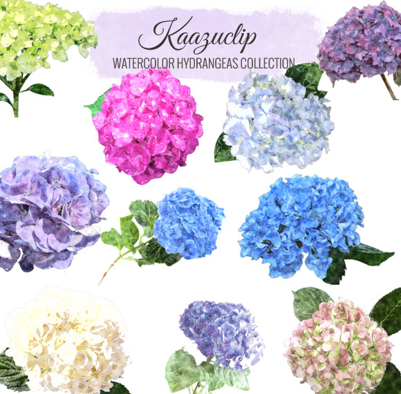 Watercolor Hydrangea Collection