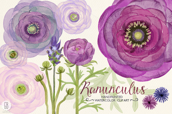 Watercolor Purple Ranunculus
