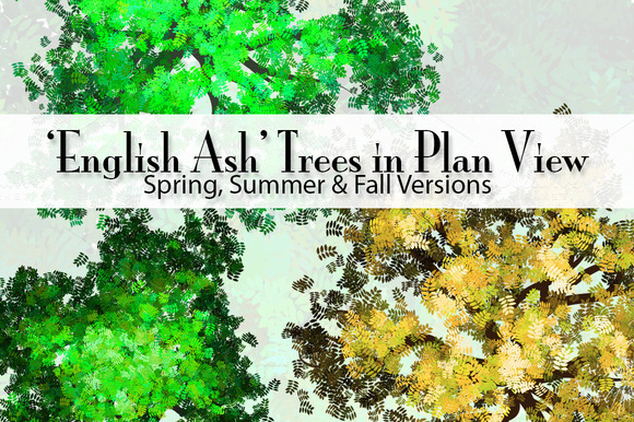 29 English Ash Trees In Plan View