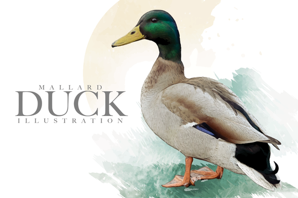Mallard Duck Illustration