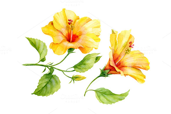 Watercolor Yellow Hibiscus Flower