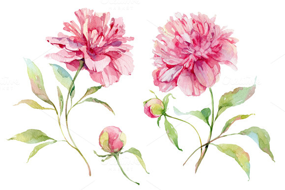 Watercolor Peonies Flower