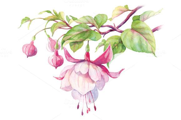 Watercolor Fuchsia Flower