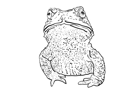 Vector Of Toad Isolate On White Back