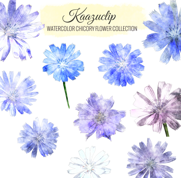 Watercolor Chicory Flower Collection