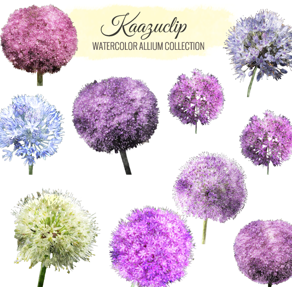 Watercolor Allium Collection