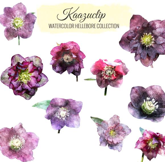 Watercolor Hellebore Collection