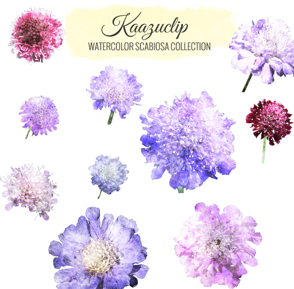 Watercolor Scabiosa Collection