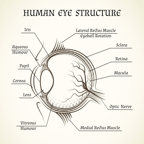 Vector Structure Of The Human Eye