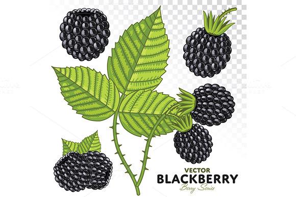 Blackberry Set Vector