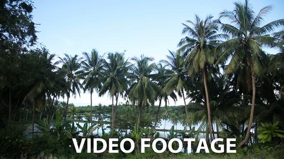 Coconut Palm Trees Plantation