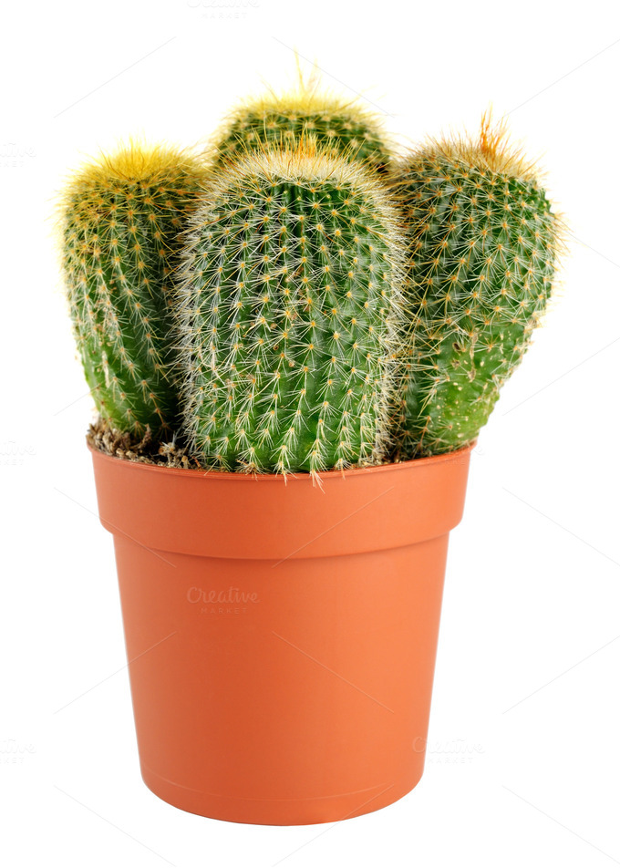 cactus in pot nature photos on creative market. Black Bedroom Furniture Sets. Home Design Ideas
