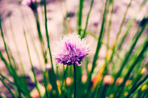 Chives Have Flowers?