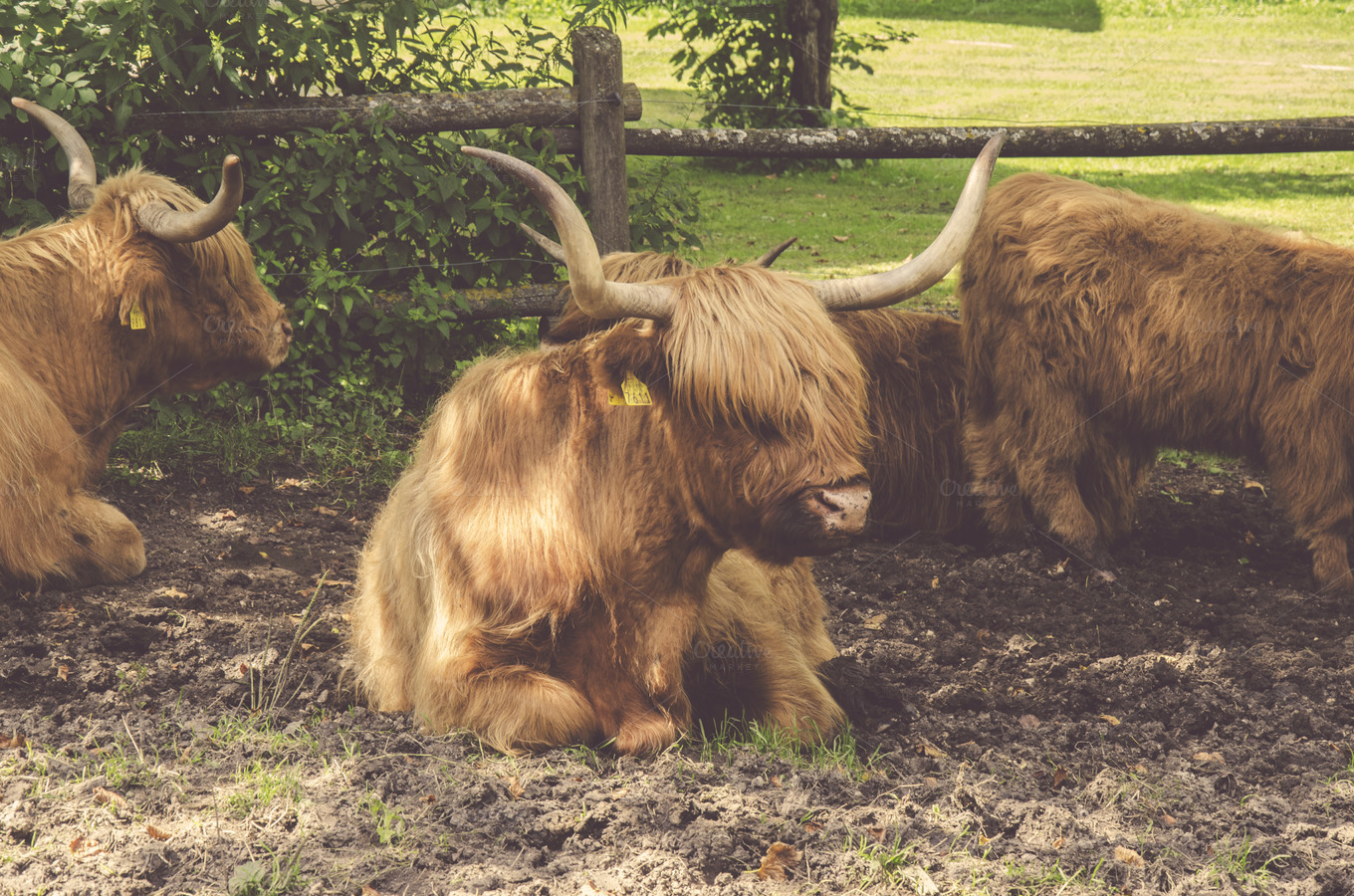 Hairy Cattle 38