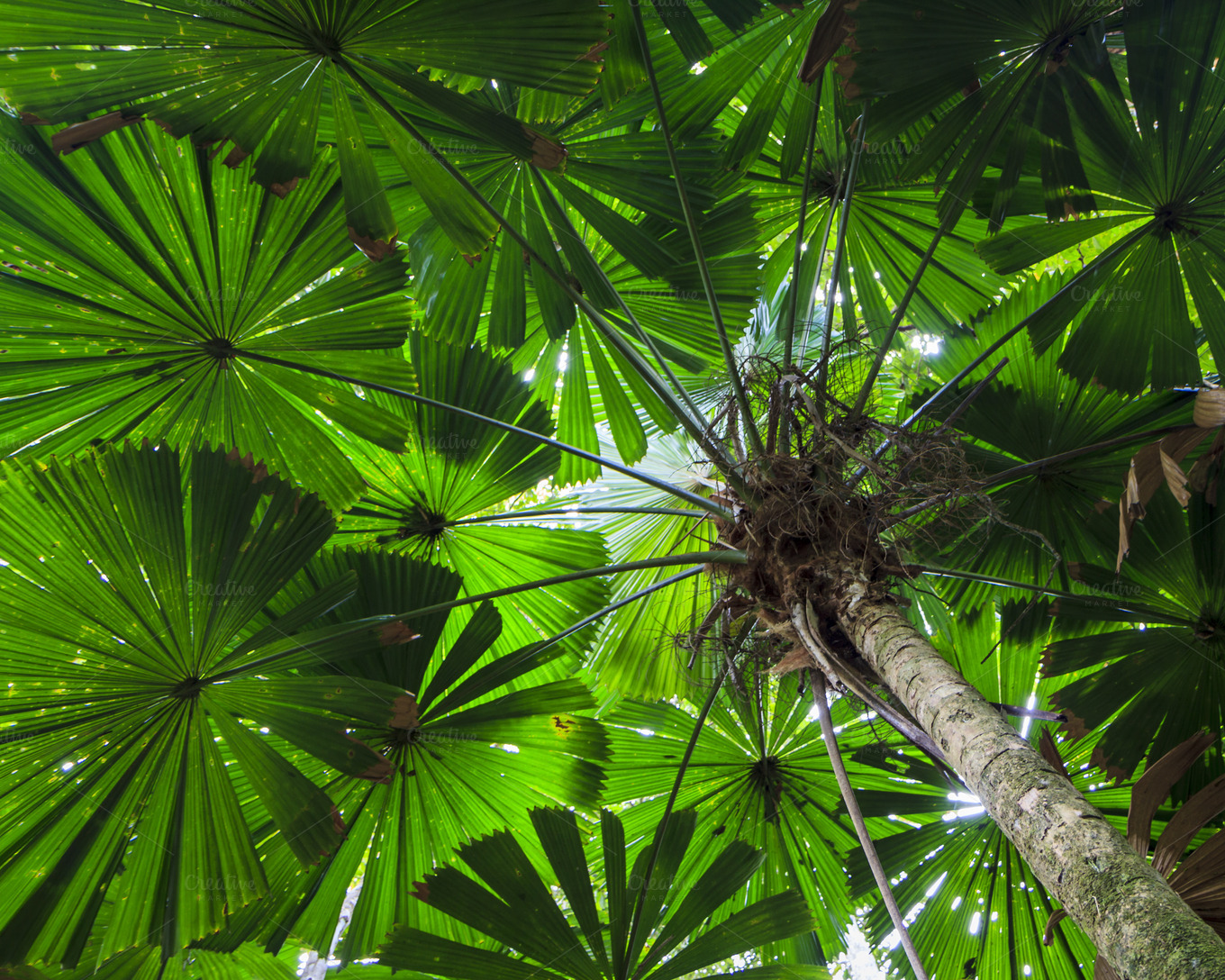 Green Fan Palm Tree Background Nature Photos On Creative