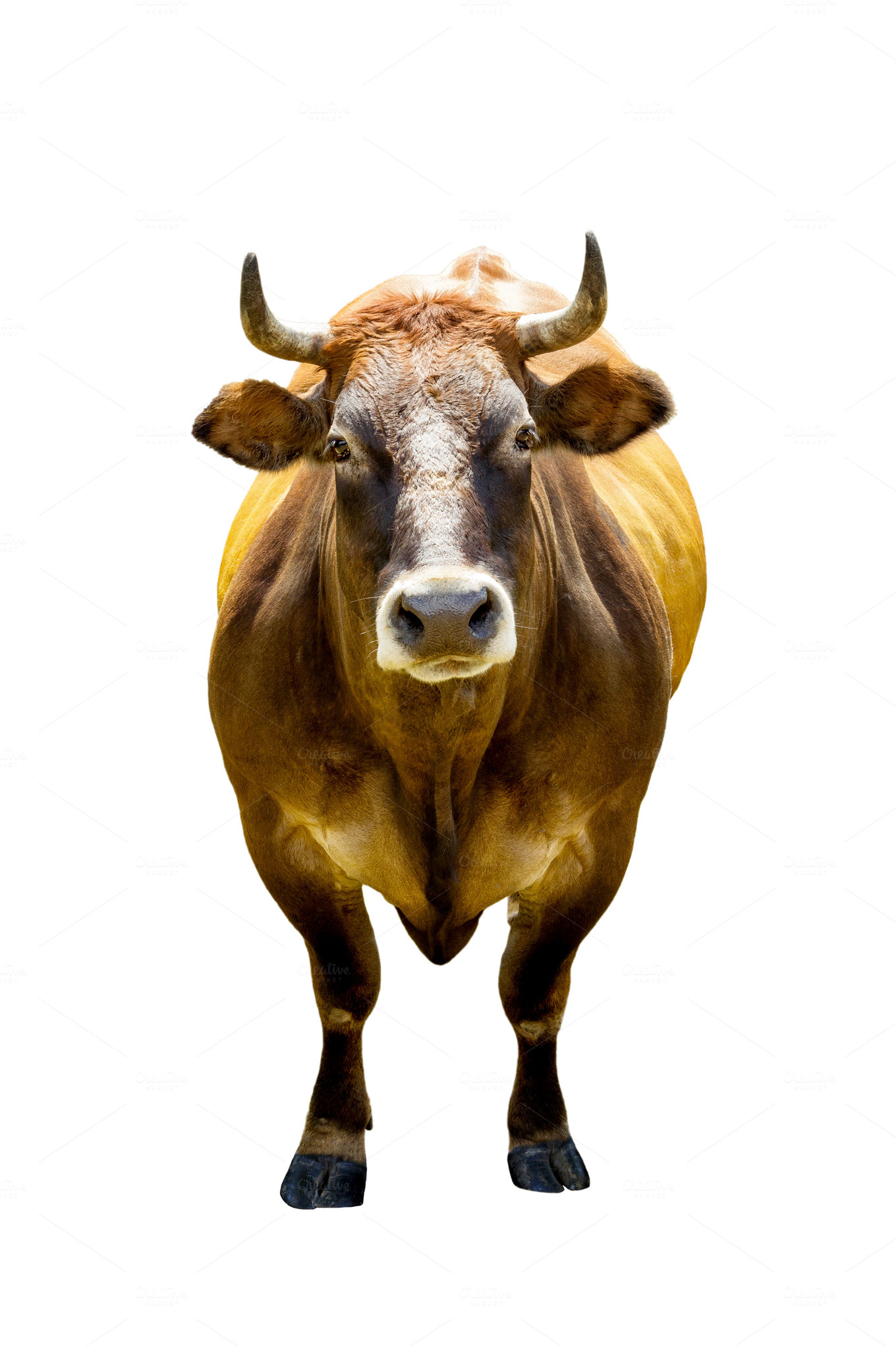 brown cow isolated on white