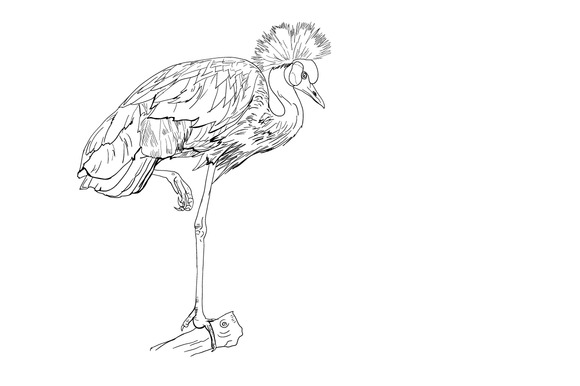 The African Crowned Crane Bird