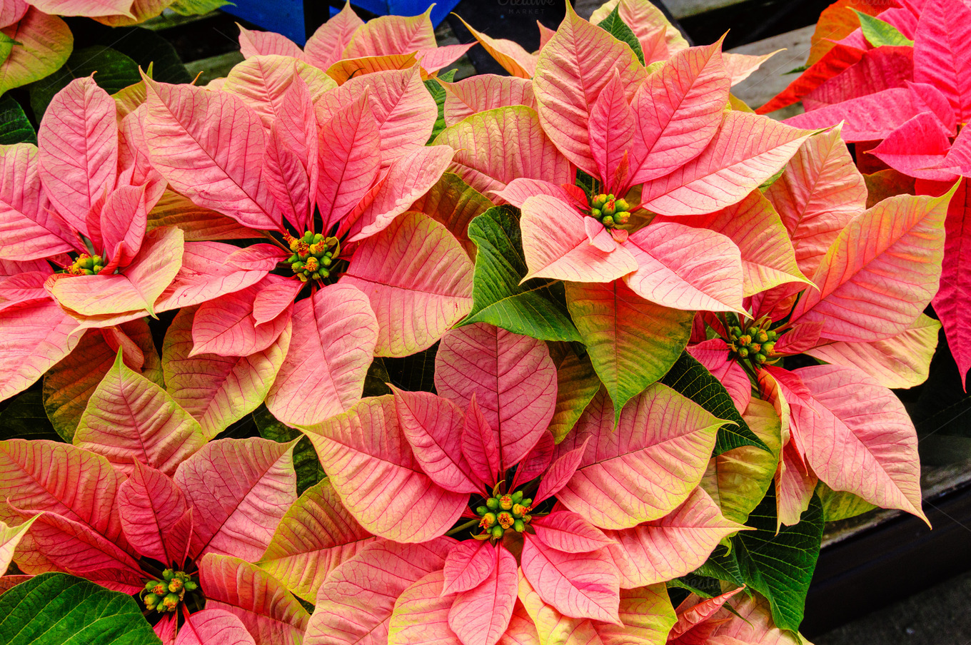 Pink poinsettia holiday flowers photos on