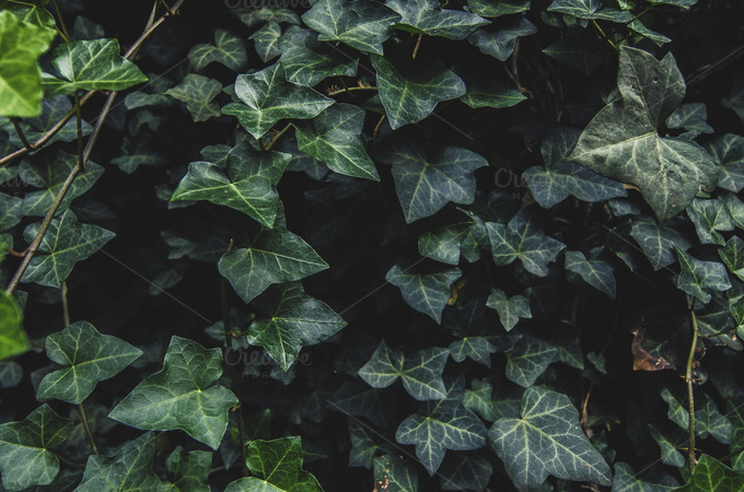 Dark ivy leaves carpet background ~ Nature Photos on ...