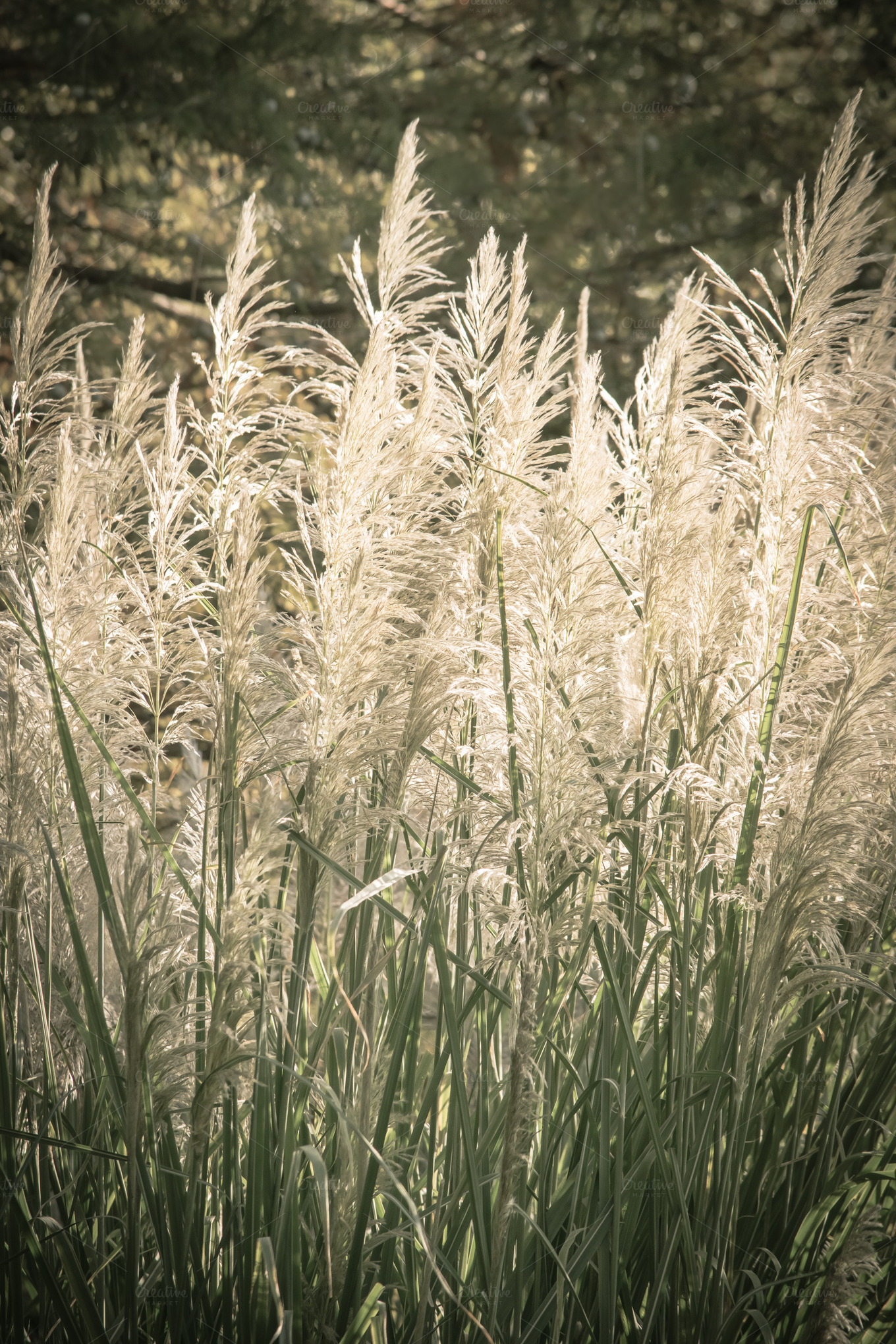 Tall ornamental grass nature photos on creative market for Very tall ornamental grasses