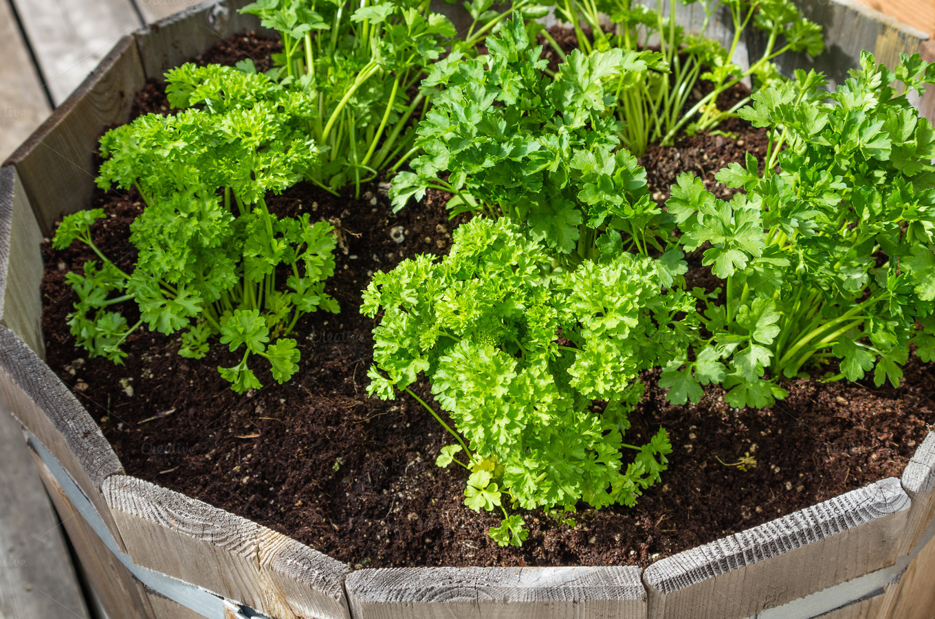 container growing  parsley nature   creative
