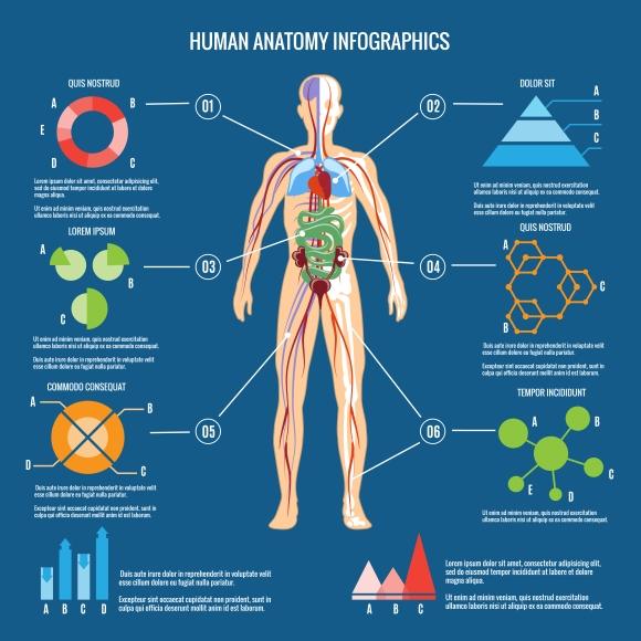 Human Body Anatomy Infographic Graphics On Creative Market