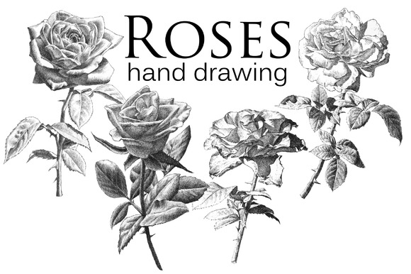 Realistic roses. Hand drawing. - Illustrations