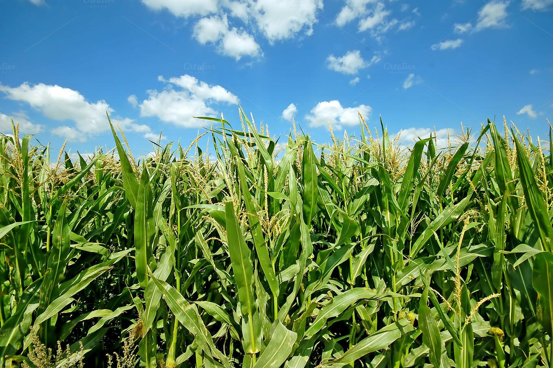 Green corn field ~ Nature Photos on Creative Market
