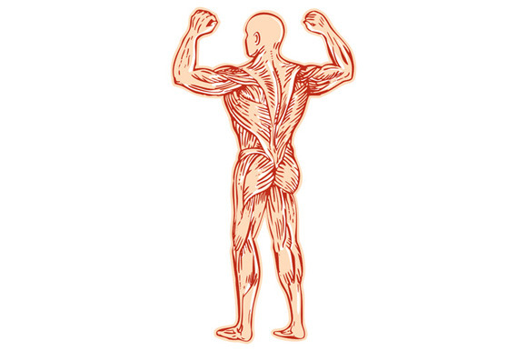 Human Muscles Diagram Unlabeled - human muscular system ...
