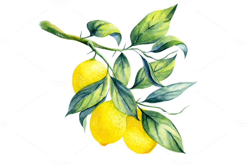 Watercolor Lemon Branch Illustrations On Creative Market