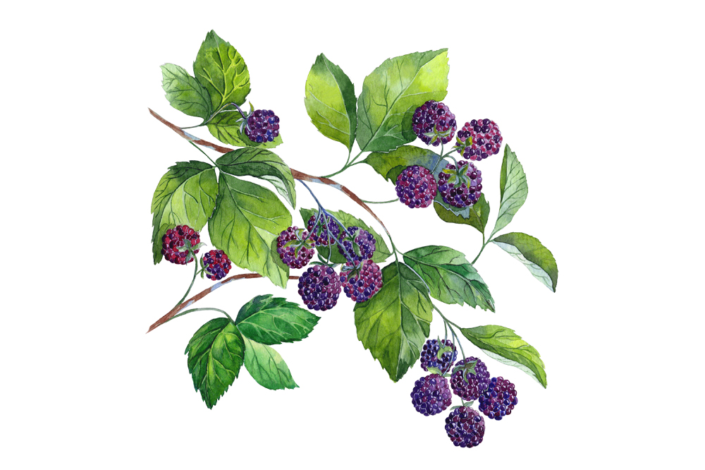 watercolor raspberry and blackberry